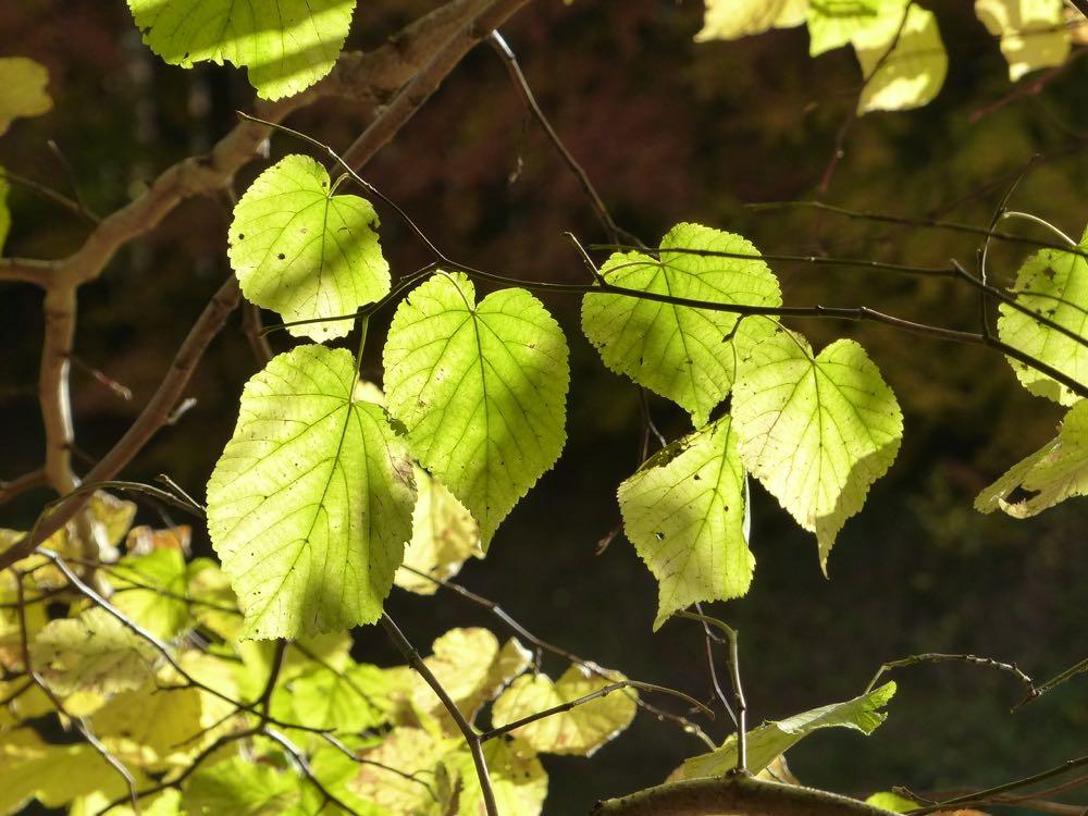lime leaves Dunkeld